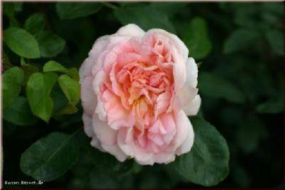 Rosen Direct Amaretto® - Container Rose im 5 ltr. Topf