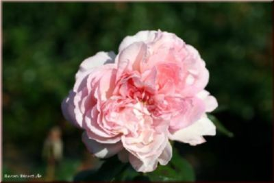 Rosen Direct Alexandra Princesse de Luxembourg® - Container Rose im 5 ltr. Topf