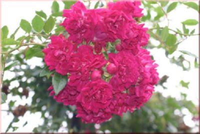 Super Excelsa ® - Container Rose im 7 ltr.Topf   Garten > Pflanzen > Pflanzen   Rosen-Direct
