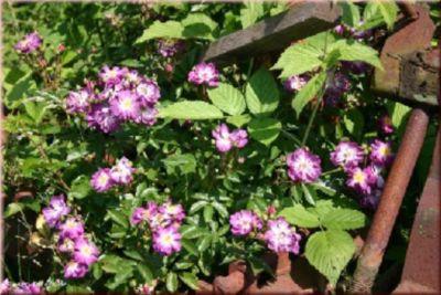 Veilchenblau - Container Rose im 7 ltr.Topf