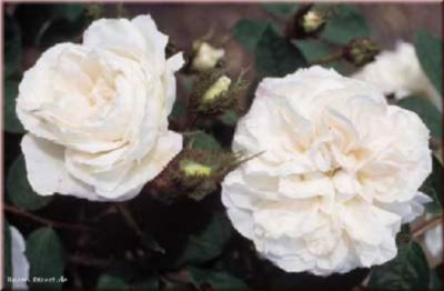 Rosen Direct Blanche Moreau - Container Rose im 5 ltr. Topf