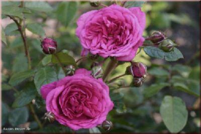 Laguna® - Container Rose im 5 ltr. Topf | Garten > Pflanzen > Pflanzen | Rosen-Direct