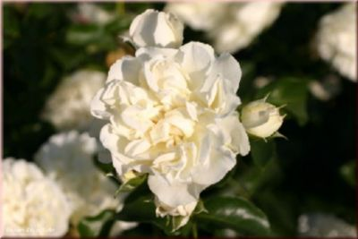 White Meidiland® - Container Rose im 4 ltr. Topf