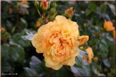 Rosen Direct Bernstein Rose® - Container Rose im 4 ltr. Topf