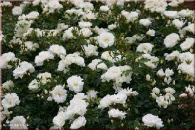 Schneeflocke® - Container Rose im 4 ltr. Topf
