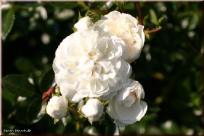 Swany® - Container Rose im 4 ltr. Topf