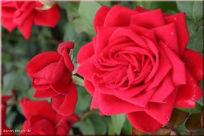 Burgund 81® - Container Rose im 4 ltr. Topf
