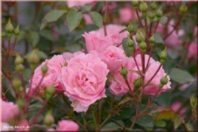 Rosen Direct Bonica 82® - Container Rose im 4 ltr. Topf