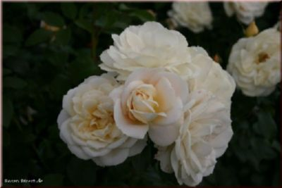 Lions Rose® - Container Rose im 4 ltr. Topf