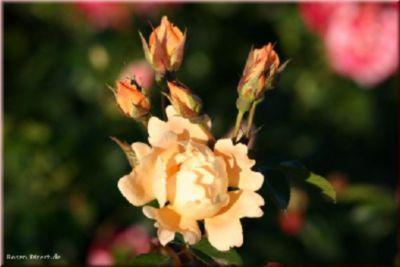 Rosen Direct Bridge of Sighs® - Container Rose im 5 ltr. Topf