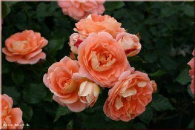 Bonita®Renaissance® - Container Rose im 5 ltr. ...
