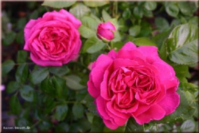 Mme Isaac Pereire - Container Rose im 5 ltr. Topf