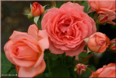 Amelia®Renaissance® - Container Rose im 5 ltr. ...