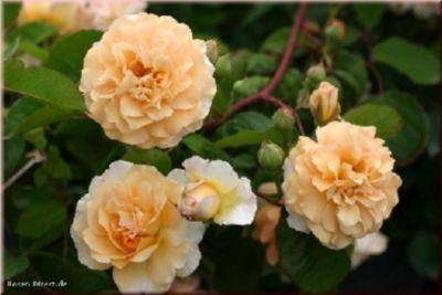 Rosen Direct Buff Beauty - Container Rose im 5 ltr. Topf