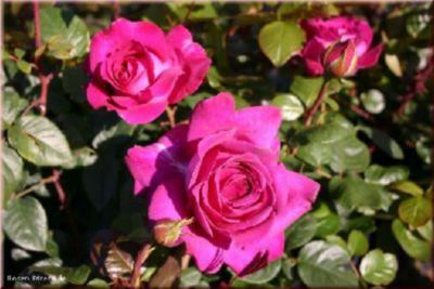 Chartreuse de Parme® - Container Rose im 5 ltr....