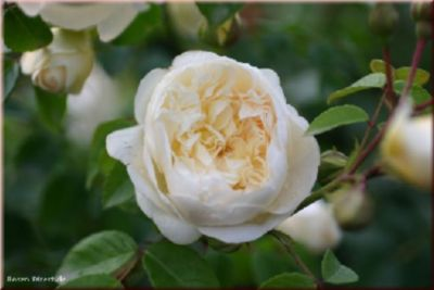 Perpetually Yours® - Container Rose im 5 ltr. Topf