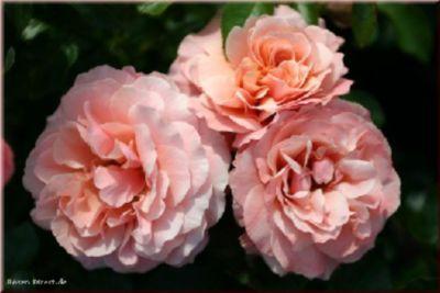 Rosen Direct Botticelli® - Container Rose im 4 ltr. Topf