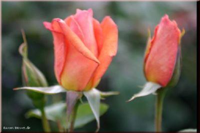Rosen Direct Beauté - Container Rose im 4 ltr. Topf