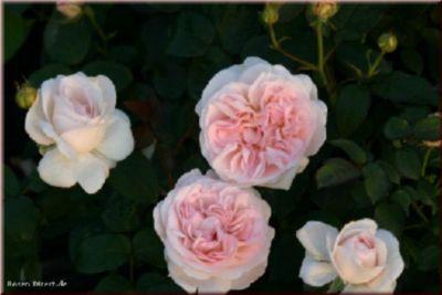 Home&Garden® - Container Rose im 4 ltr. Topf