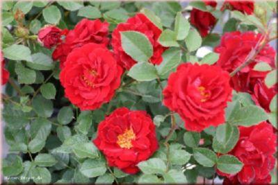 Zwergkönig 78® - Container Rose im 4 ltr. Topf   Garten > Pflanzen > Pflanzen   Rosen-Direct