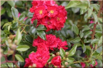 Fairy Dance® - Container Rose im 4 ltr. Topf   Garten > Pflanzen > Pflanzen   Rosen-Direct
