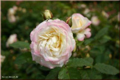 Aurore de Jacques-Marie® - Container Rose im 5 ...