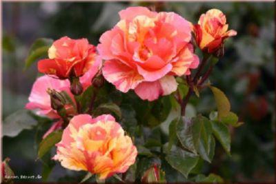 Fruite® - Container Rose im 4 ltr. Topf