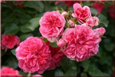 Pink Swany® - Container Rose im 4 ltr. Topf