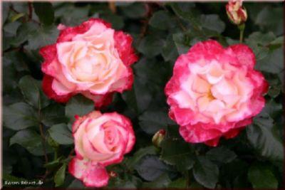 Jubile du Prince de Monaco® - Container Rose im 4 ltr. Topf