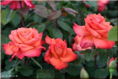 Christoph Columbus® - Container Rose im 4 ltr. ...