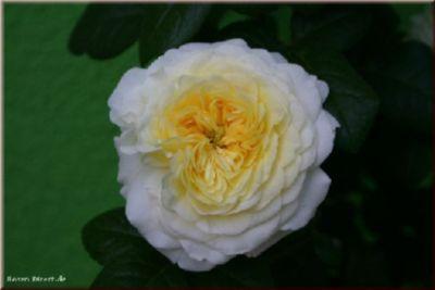 Benedikt® - Container Rose im 4 ltr. Topf