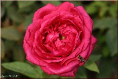 Harald Wohlfahrt® - Container Rose im 7 ltr. Topf