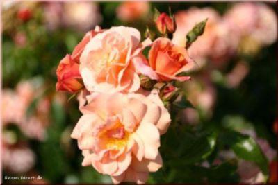Rosen Direct Aprikola® (Hochstamm) - Hochstamm ca 90 cm