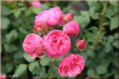 Pomponella® - Container Rose im 4 ltr. Topf   Garten > Pflanzen > Pflanzen   Rose   Rosen-Direct