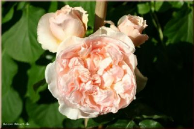 Vitalrose® Climbing Champagne - Container Rose ...