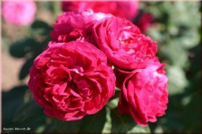 Rosen Direct Bicentenaire de Guillot® - Container Rose im 5 ltr. Topf
