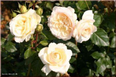 Tchaikovski® - Container Rose im 4 ltr. Topf   Garten > Pflanzen > Pflanzen   Creme   Rosen-Direct