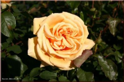 Rosen Direct Candlelight® - Container Rose im 4 ltr. Topf