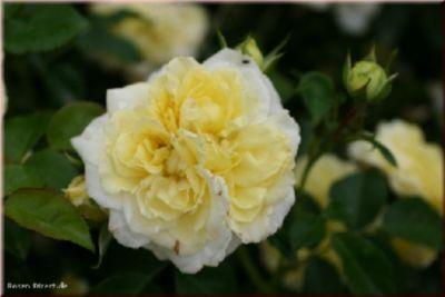 Solero® - Container Rose im 4 ltr. Topf