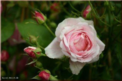 Billet Doux® - Container Rose im 9 ltr. Topf   Garten > Pflanzen > Pflanzen   Rosa   Rosen-Direct