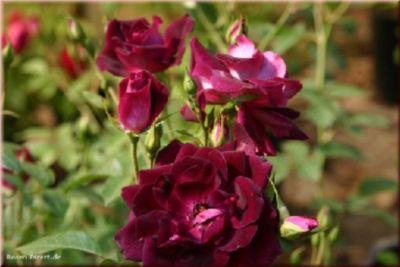 Rosen Direct Burgundy Ice® - Container Rose im 5 ltr. Topf