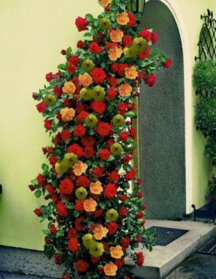 kletterrosen rot rosa und gelb kletterpflanzen rose. Black Bedroom Furniture Sets. Home Design Ideas