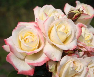 Dominik Gartenparadies Kordes Edelrose Athena´´...