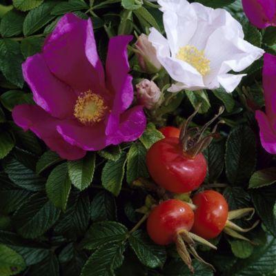 Heckenrose, rot blühend, 1 Pflanze