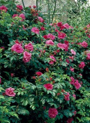 Heckenrose, rot blühend, 3 Pflanzen
