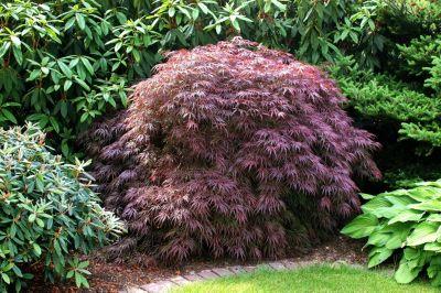 Dominik Gartenparadies Acer palmatum Atropurpureum, feinblättrig, 3 Liter Container