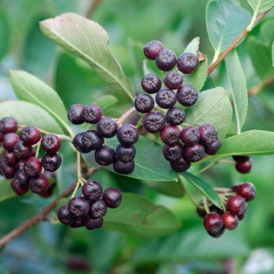 apfelbeere-strauch-2-pflanzen