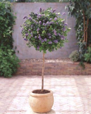 """Dominik Gartenparadies Amerikanischer-Flieder-Stämmchen Ceanothus griseus """"Yankee Point"""", 1 Pflanze"""