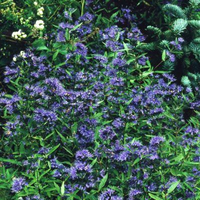 "Dominik Gartenparadies Blaue Bartblume (Caryopteris clandonensis) ""Heavenly blue"", 17cm Topf, 1 Pflanze"