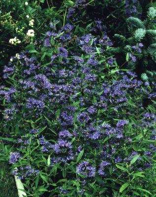 "Dominik Gartenparadies Blaue Bartblume (Caryopteris clandonensis) ""Heavenly blue"", 17cm Topf, 2 Pflanzen"
